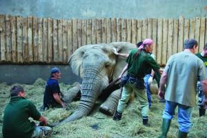 Bull elephant Ninio